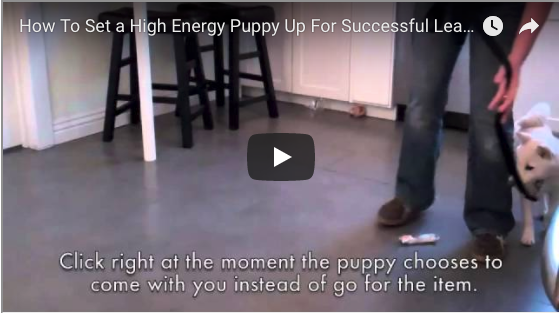 How to Set Up a High Energy Puppy for Successful Leash Walking (Sarah O)