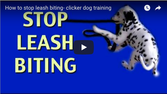 How to Stop Leash Biting (Emily)