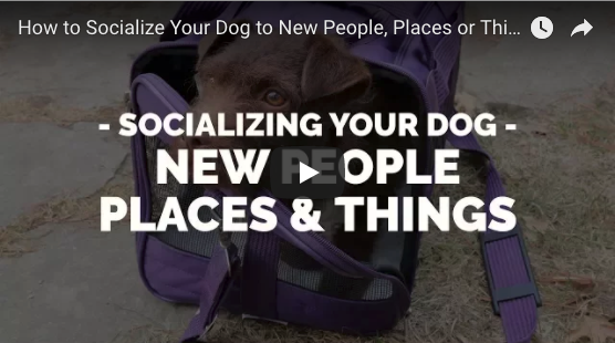 How to APPROPRIATELY Socialize your Puppy