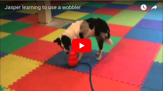 Teaching a Puppy to Enjoy a Kong Wobbler Enrichment Toy